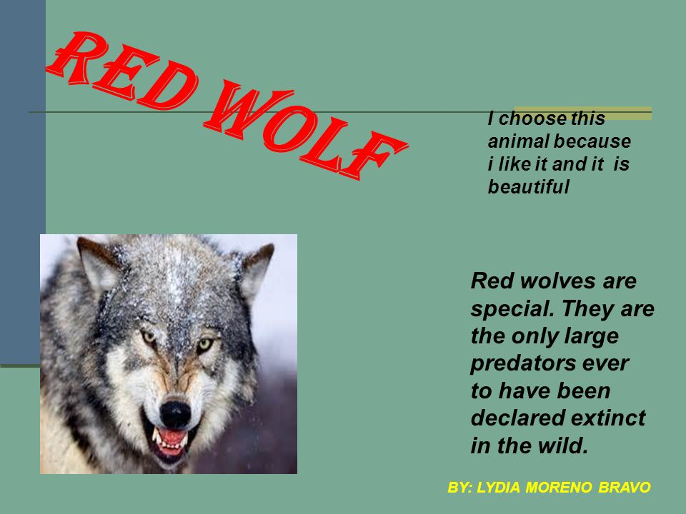 RED WOLF Red wolves are special.