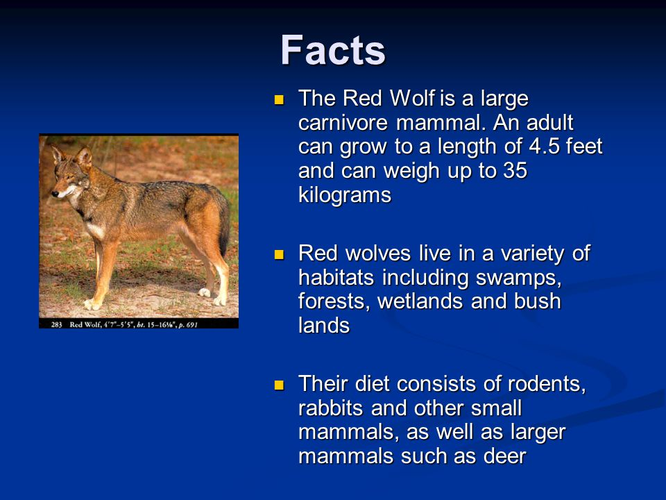 Facts The Red Wolf is a large carnivore mammal. An adult can grow to a length of 4.5 feet and can weigh up to 35 kilograms.