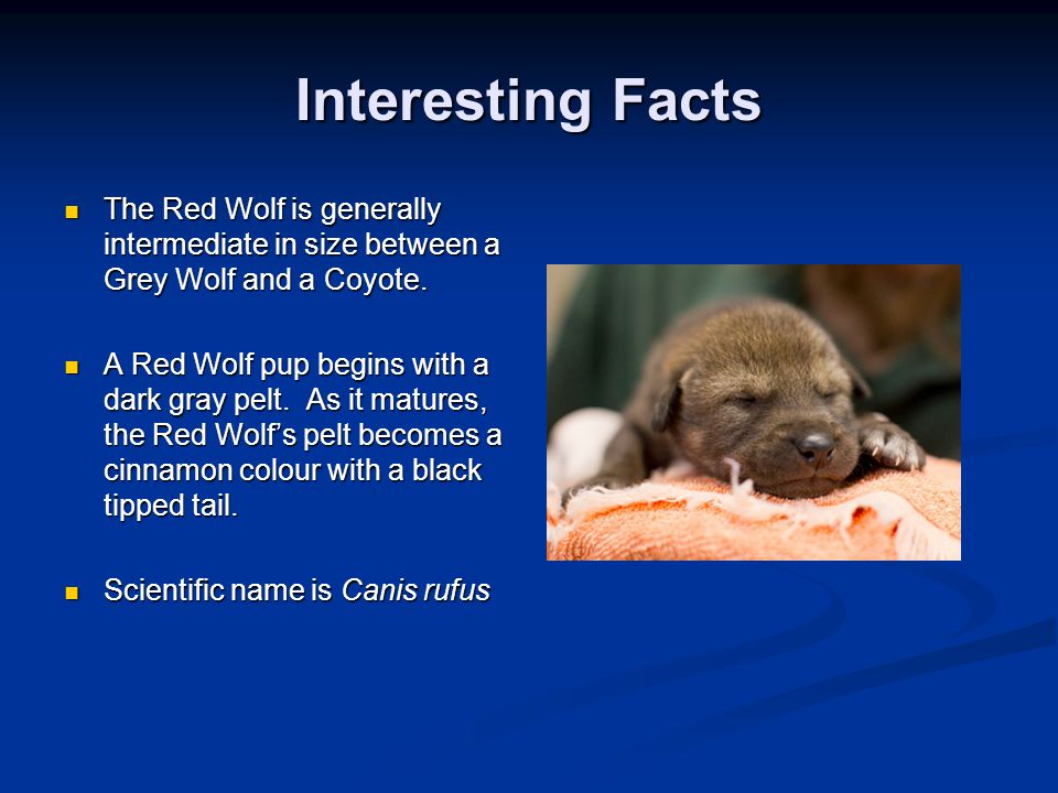Interesting Facts The Red Wolf is generally intermediate in size between a Grey Wolf and a Coyote.