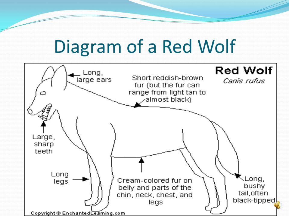 Diagram of a Red Wolf