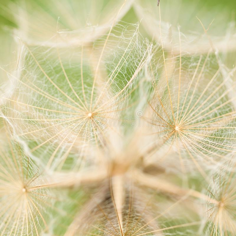 Unusual beautiful flower seeds. Beautiful unusual flower seeds in the inflorescence with delicate openwork umbrellas stock photo