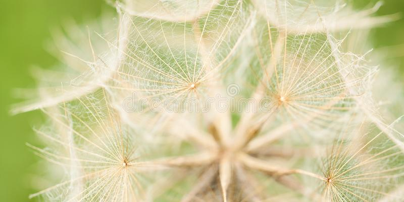 Unusual beautiful flower seeds. Beautiful unusual flower seeds in the inflorescence with delicate openwork umbrellas royalty free stock photos