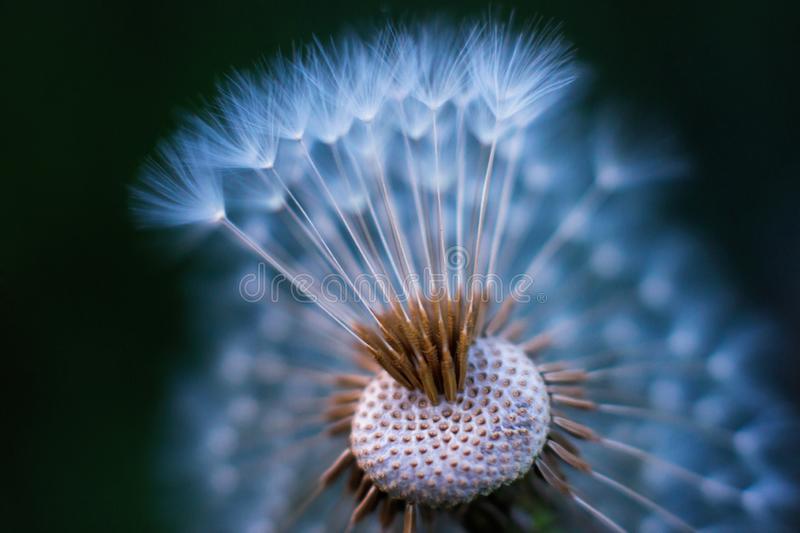 Colored macro of dandelion blowball that partly lost its umbrellas. Colored unusual macro of dandelion blowball that partly lost its umbrellas. Airy appearance stock photo