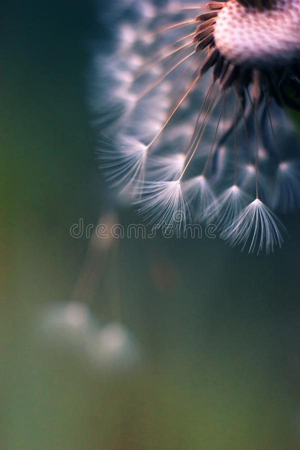 Colored macro of dandelion blowball that partly lost its umbrellas. Colored unusual macro of dandelion blowball that partly lost its umbrellas. Airy appearance royalty free stock photography