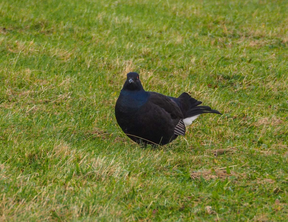 Durham Dales: Black Grouse of The North Pennines